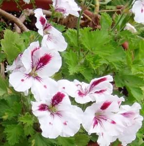 marthawashington geraniums 296x300 Spring!  The Doing Season